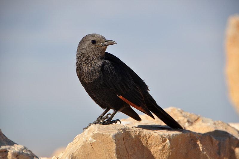 nov 24 3957 black bird