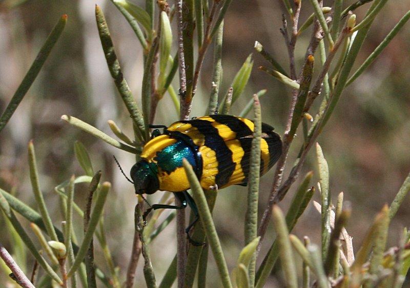 nov_24_4902_yellow_wing_beetle.jpg