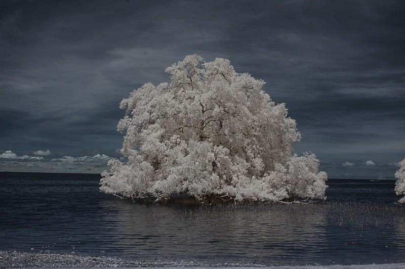 nov 24 9373 tree sea rb rev
