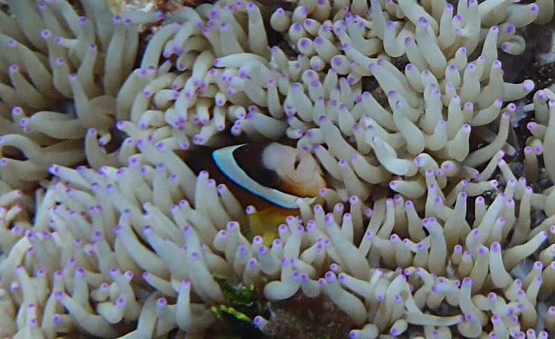 nov 26 3034 purple tip anemone