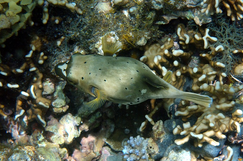 nov 26 3080 puffer fish