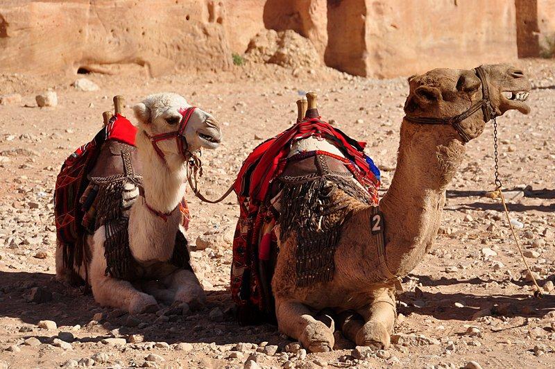 nov 26 5541 camel teeth