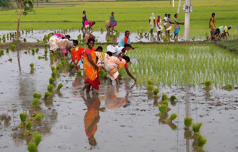 nov 30 8976 planting rice