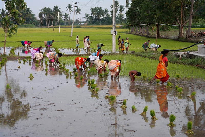 nov 30 8977 planting rice