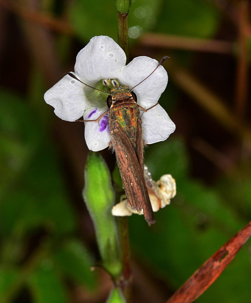 oct 06 0336 moth feeding asystasia gangeticam