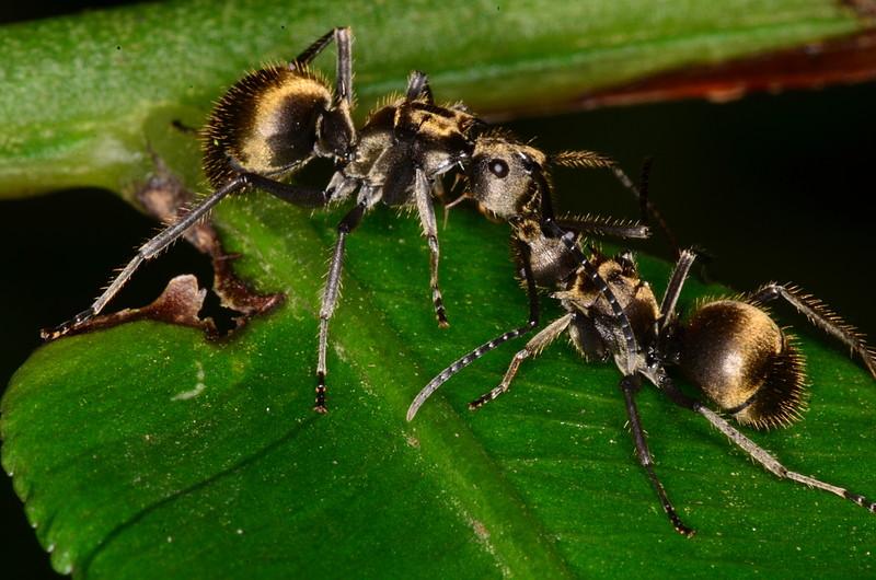 oct 06 0390 ant combat