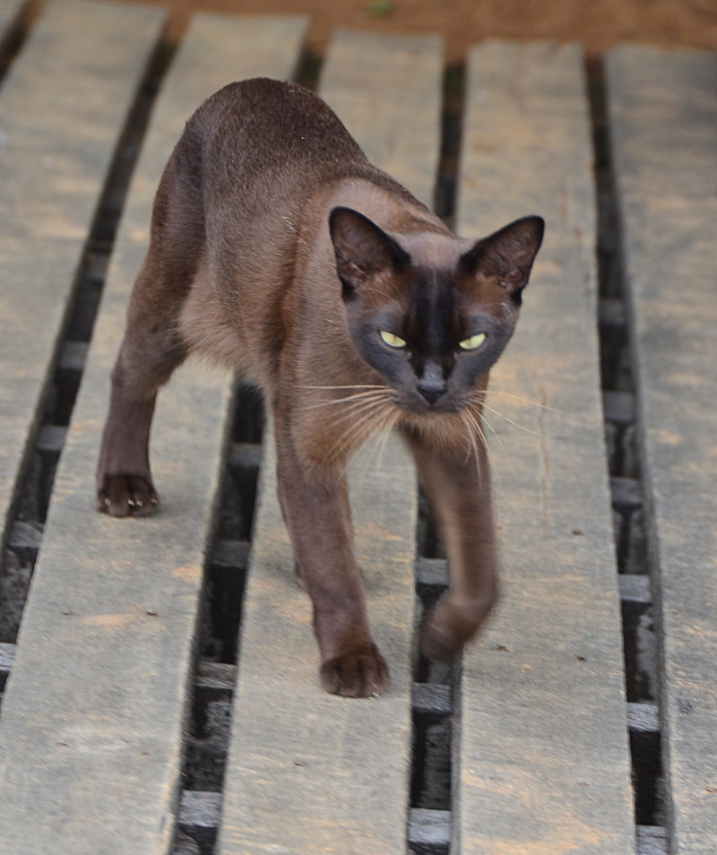 oct 12 1319 burmese cat