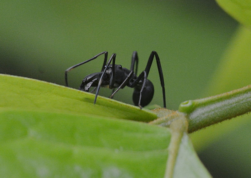 oct 12 6777 ant mimic