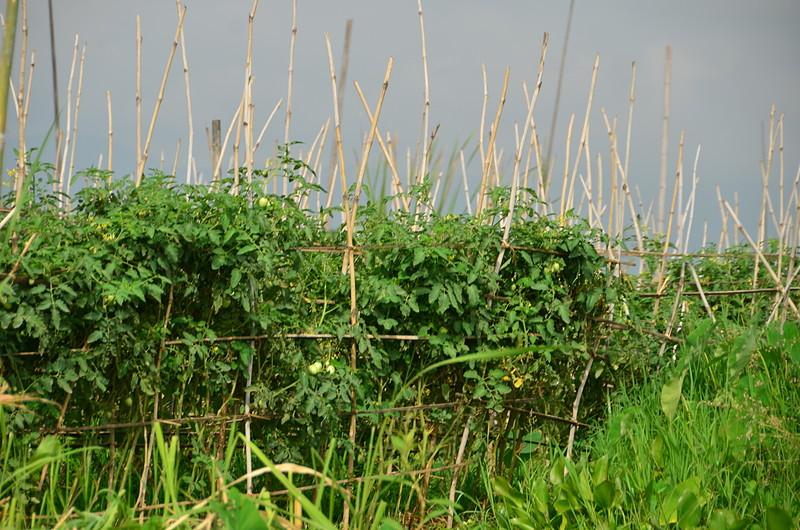 oct 14 2808 tomato plants