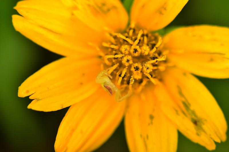 oct 20 4733 crab spider