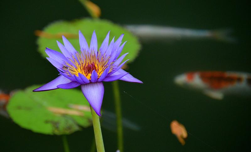 oct 27 0076 blue lotus