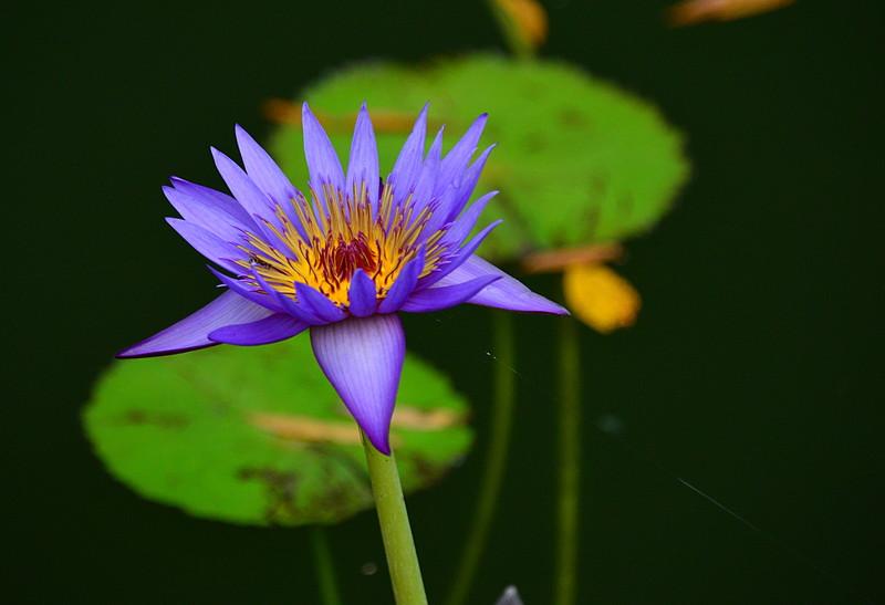 oct 27 0079 blue lotus