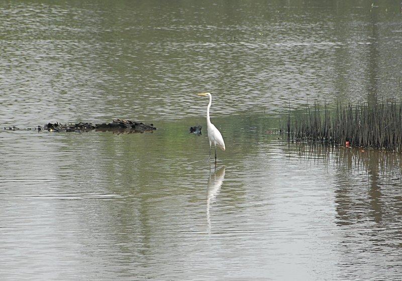 oct 28 0408 egret