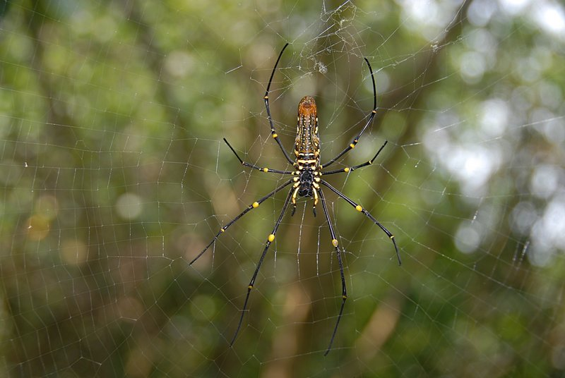 oct 28 0442 nephila ventral flash
