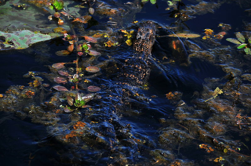 oct 31 2858 alligator wake