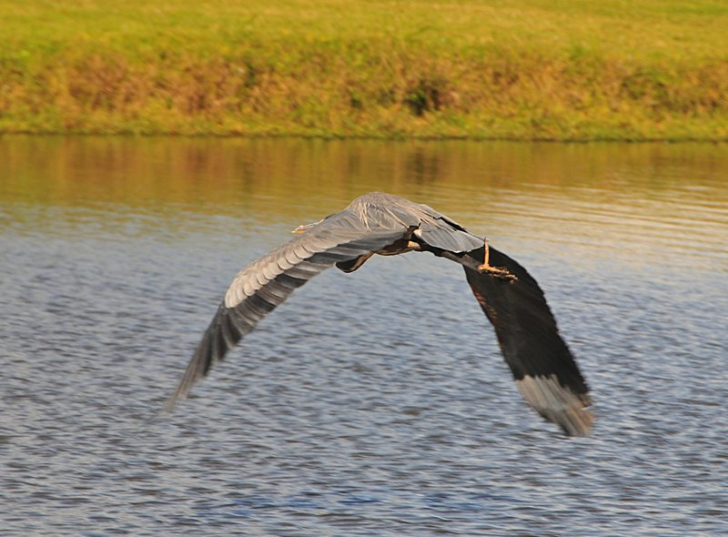 oct 31 3087 blue heron flight