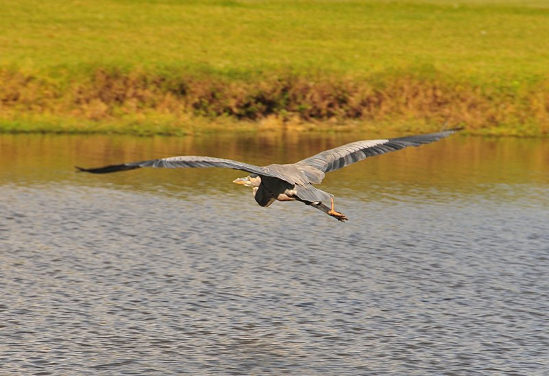 oct 31 3089 blue heron flight