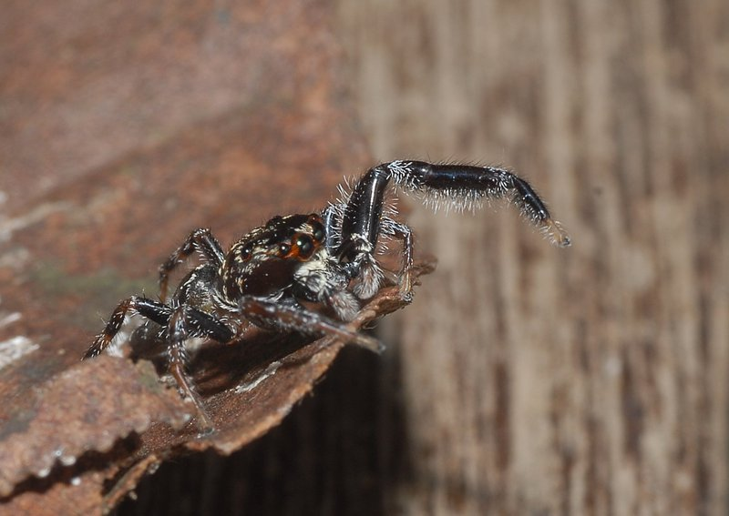 sep 01 4199 jumping spider