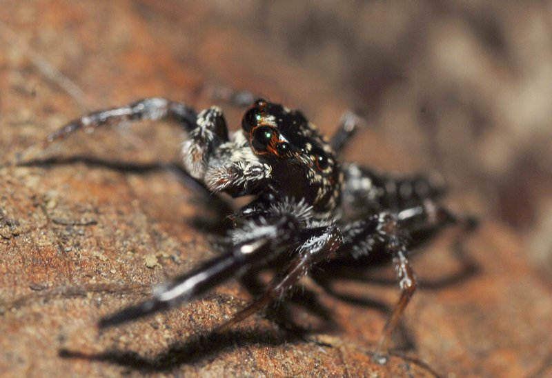 sep 01 4229 4 eyes jumping spider