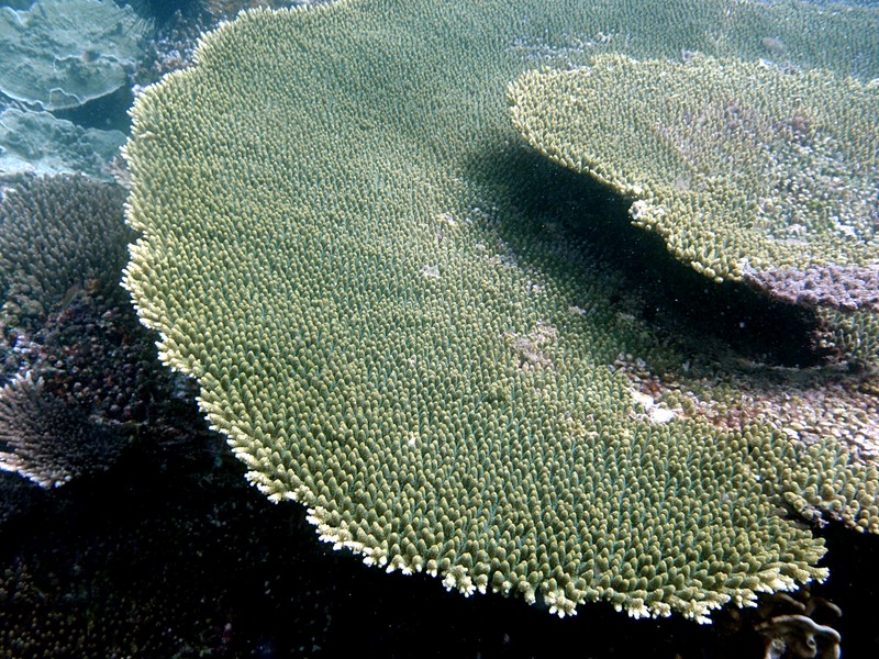 sep 03 2793 green acropora
