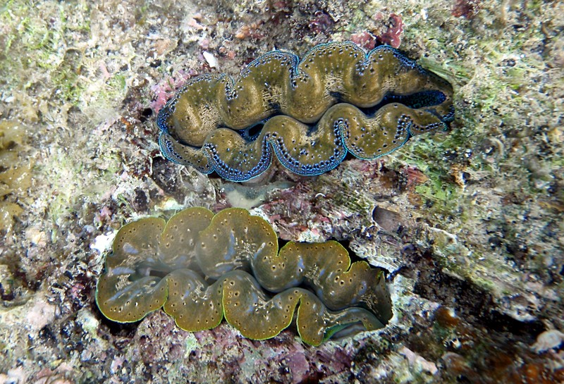 sep 03 2872 green giant clams