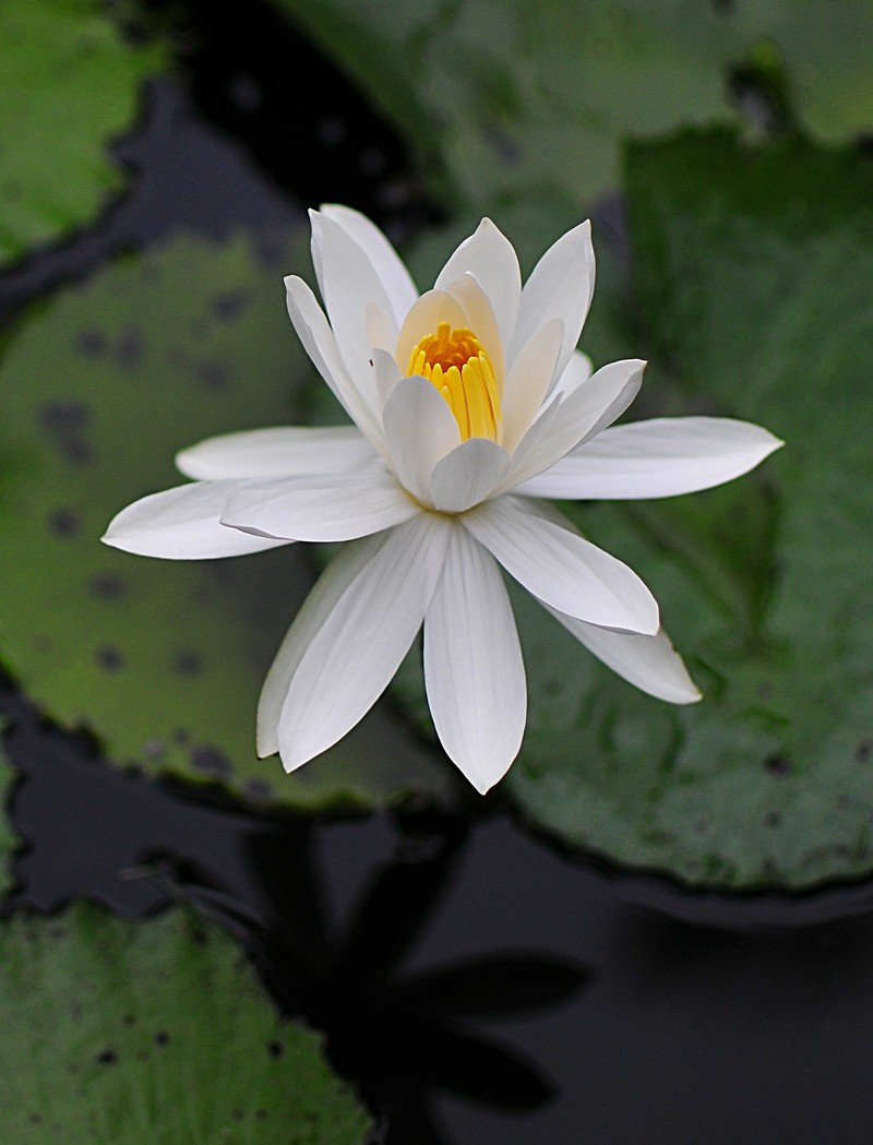 sep 03 9142 white lotus