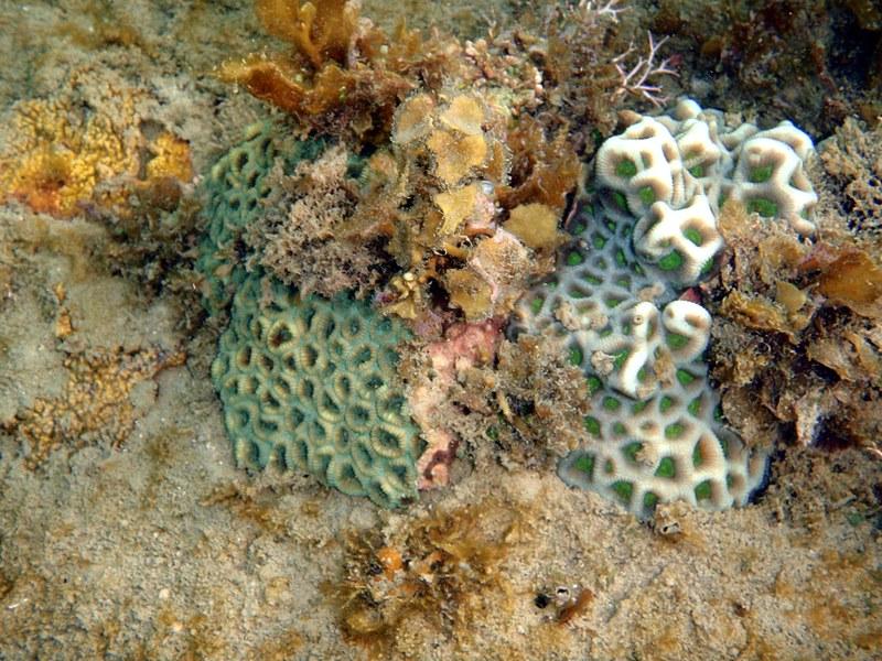 sep 04 0270 annular coral