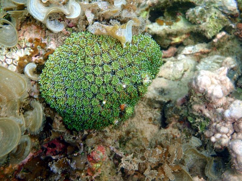 sep 04 0293 green coral