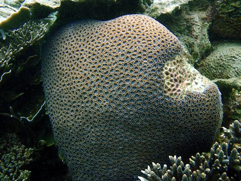 sep 05 0085 annular coral