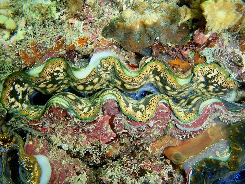 sep 05 0139 verigated clam