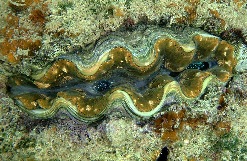 sep 05 0194 orange clam