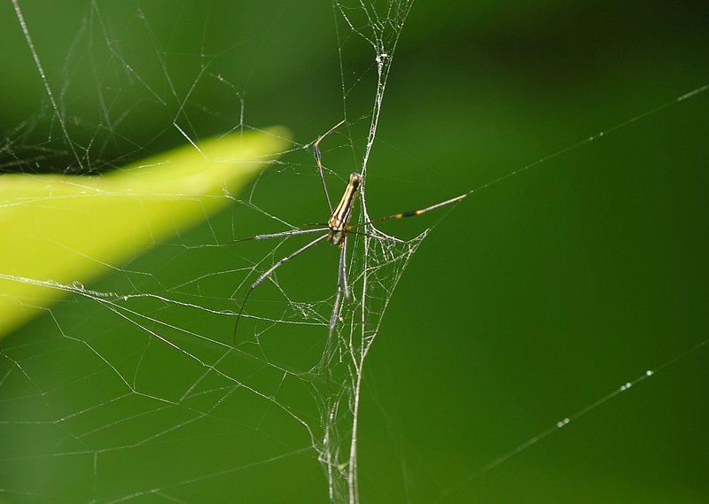 Nephila pilipes repair
