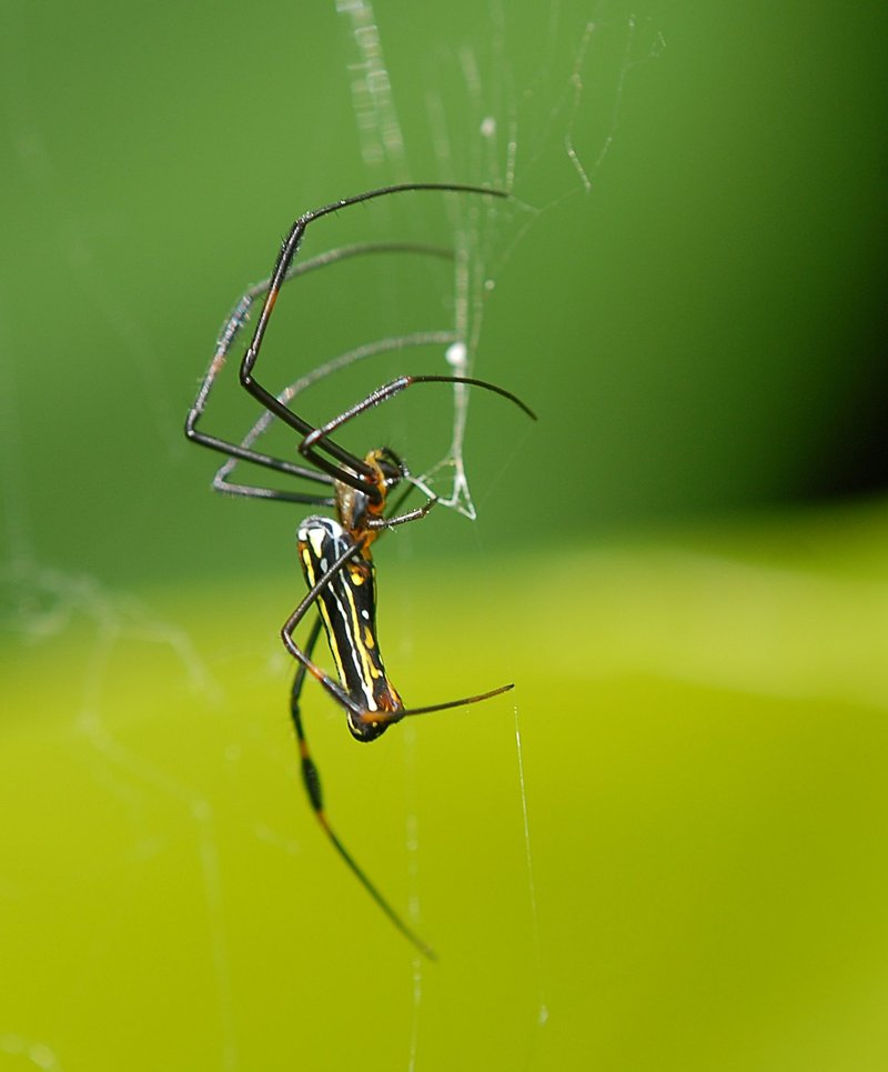 sep 09 4616 nephila green