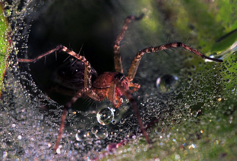 sep 11 9494 funnel web spider close