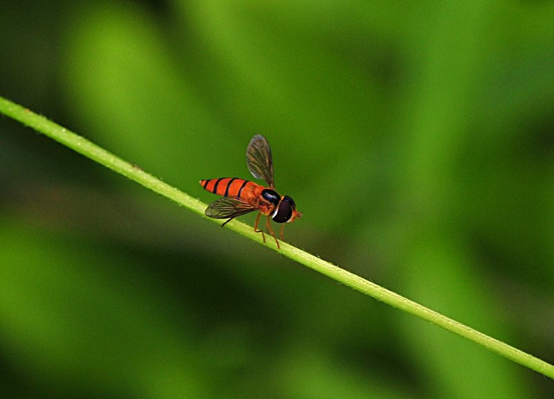 sep 11 9586 hoverfly