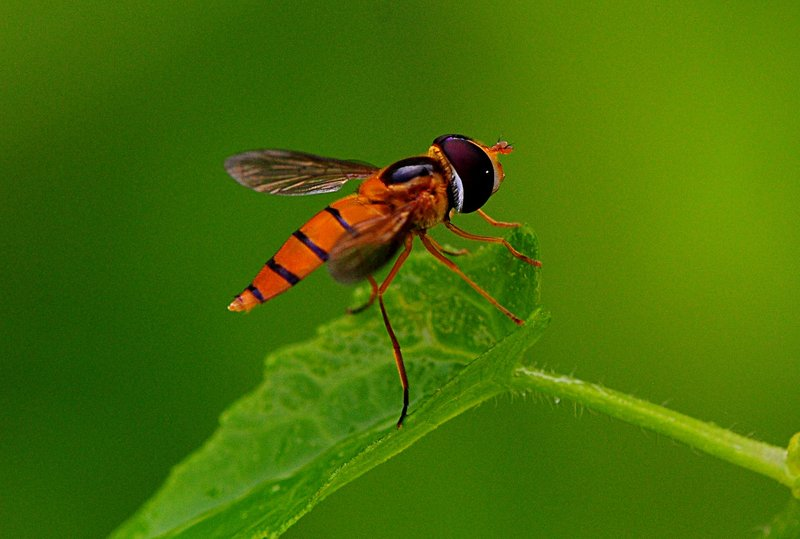 sep 11 9591 hoverfly