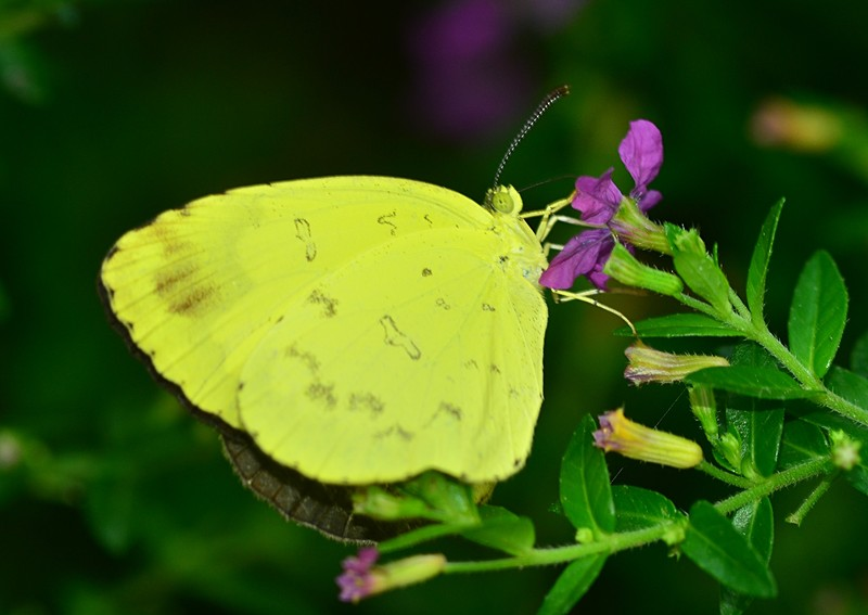 sep 17 8964 yellow butterfly