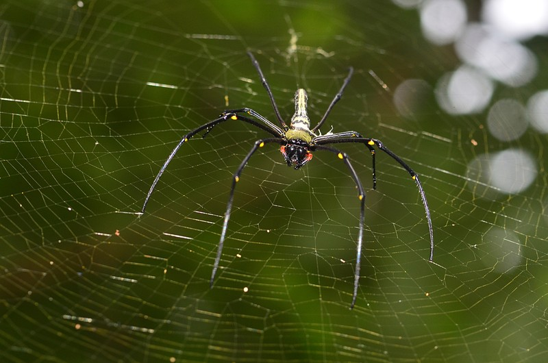 sep 17 8996 nephila background