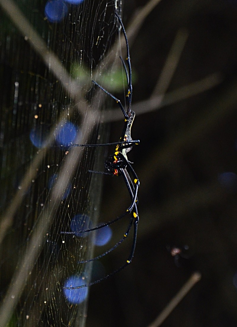 sep 17 8999 nephila side