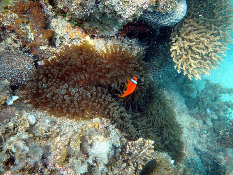 sep 27 2108 clown fish