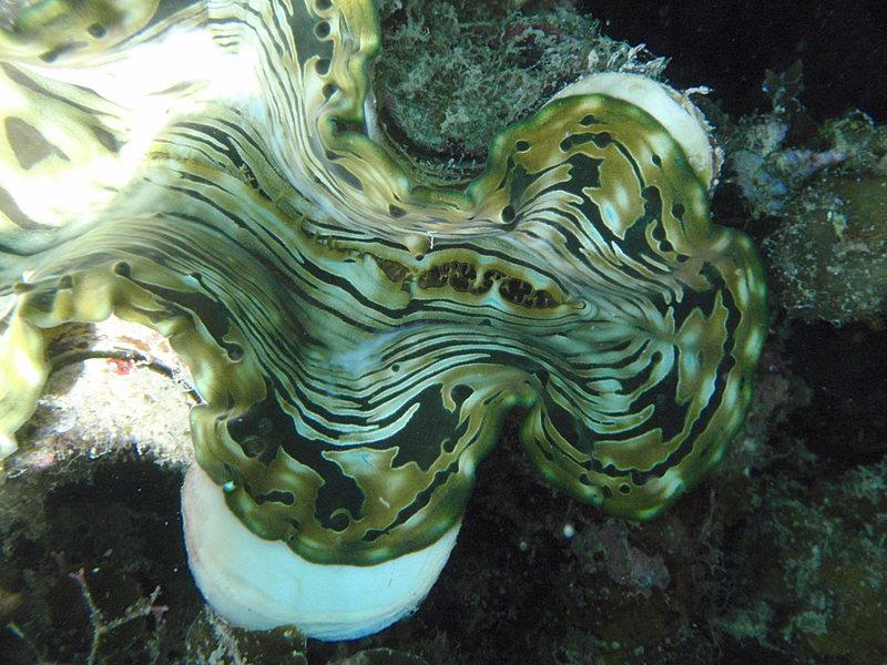 Giant clam sep_27_2168_giant_clam.jpg