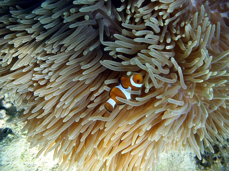Clown fish sep_27_2176_clown.jpg