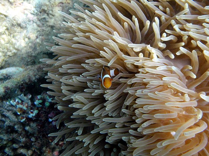 Clown fish sep_27_2179_clown_fish.jpg