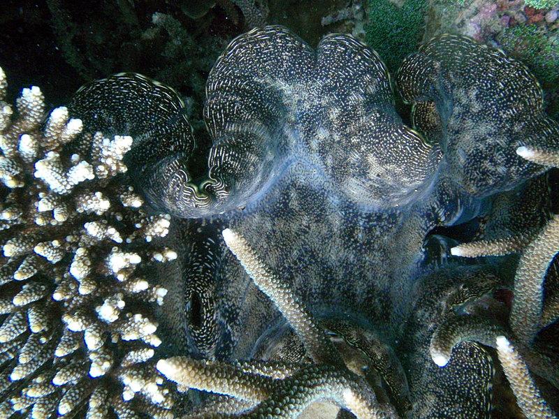 Giant clam sep_27_2232_giant_clam.jpg