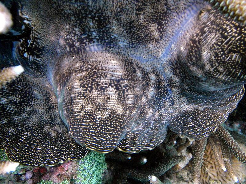 Giant clam sep_27_2234_giant_clam_stuff.jpg