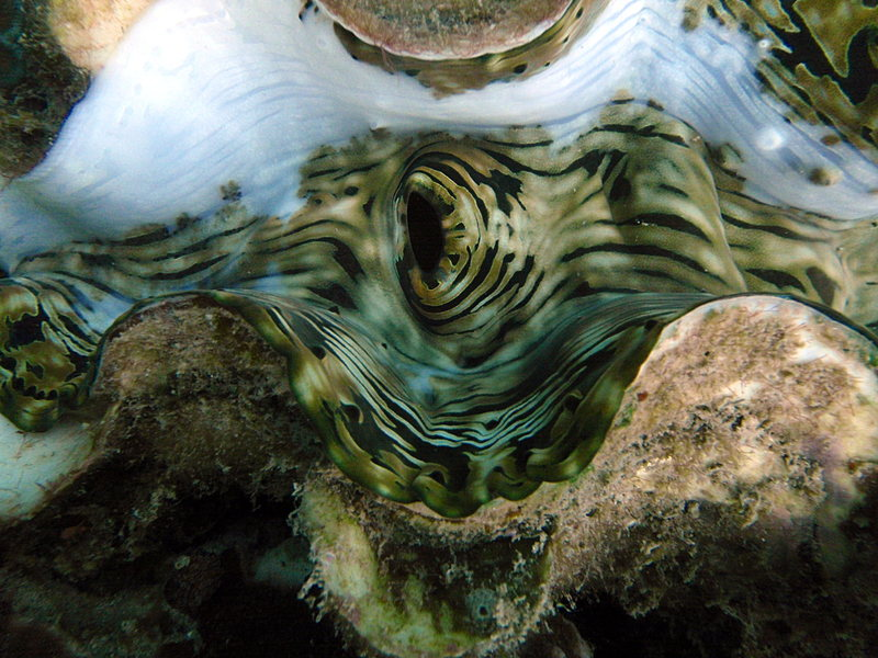 Giant clam closesep_27_2307_giant_clam_close.jpg