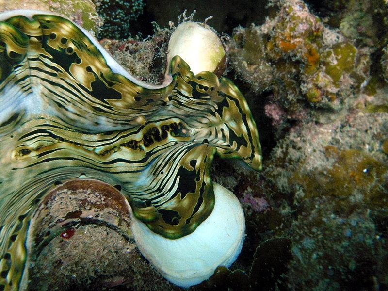 Giant clam close sep_27_2308_giant_clam_close.jpg