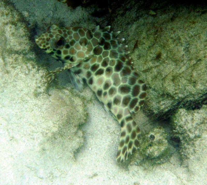 sep 29 5484 leopard fish