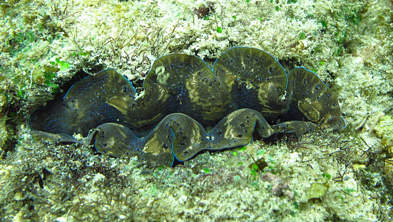 sep 29 5559 giant clam