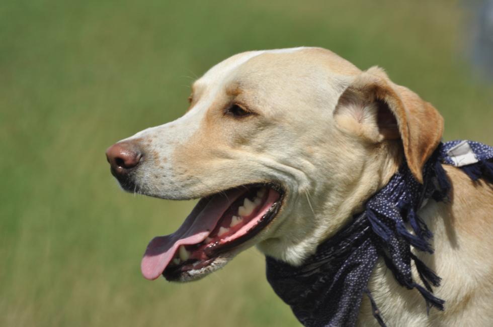 Golden Retriever With Bandana Dog Labrador Retriever Scarf